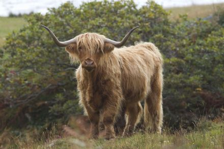 CSP Greeting Cards 'Highland Cow'